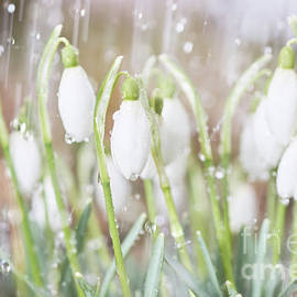 Valdis Veinbergs - Snowdrops in the garden of spring rain 4