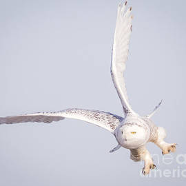 Ricky L Jones - Snowy Owl Flying Dirty