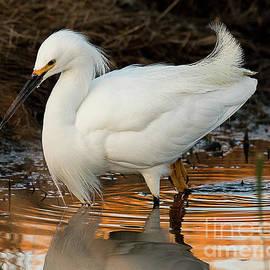 Snowy Egret at First Light by Dennis Hammer