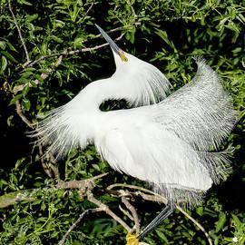 Snowy Egret Dance by Norman Johnson