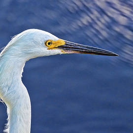 David A Lane - Snowy Egret Head