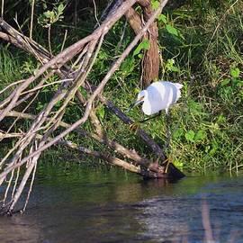 Warren Thompson - Snowy Egret Hunting