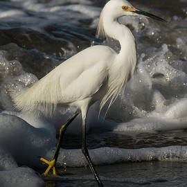 Snowy Egret in the Surf by Bruce Frye