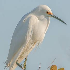 Mark Fuge - Snowy Egret