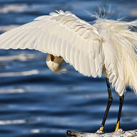 Snowy Egret Preening by H H Photography of Florida by HH Photography of Florida
