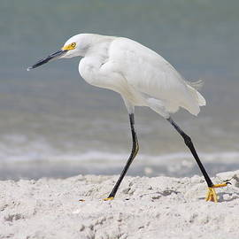 Snowy Egret Walk Along The Beach by Christiane Schulze Art And Photography