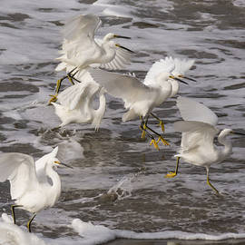 Bruce Frye - Snowy Egrets in the Surf