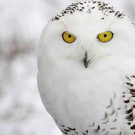 Angie Rea - Snowy Owl