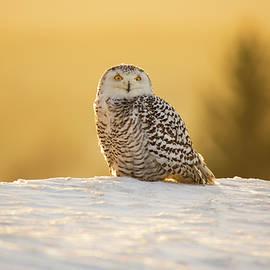 David Hare - Snowy Owl