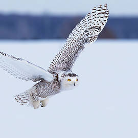 Snowy Owl Hunting by Mircea Costina Photography