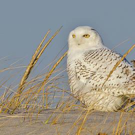 Snowy Owl In Early Morning Light by Morris Finkelstein