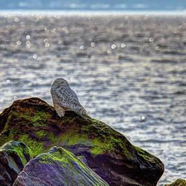 Geraldine Scull - Snowy Owl On The Rocks