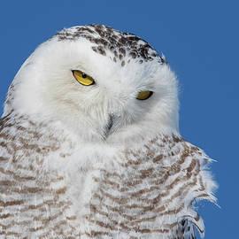 Snowy Owl Portrait by Mircea Costina Photography