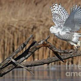 Dale Niesen - Snowy Owl takes flight