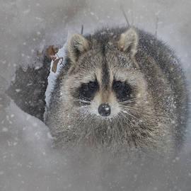 Teresa Wilson - Snowy Raccoon