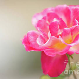 Sabrina L Ryan - Soft as a Whisper of a Hot Pink Rose