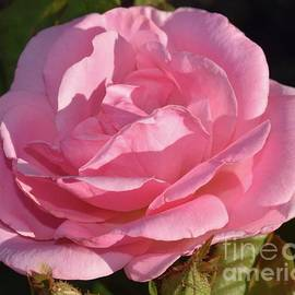 Soft Light - Peachy Knock Out Rose  by Cindy Treger