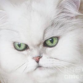 Soft Persian Cat by Elisabeth Lucas