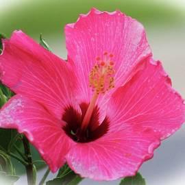 Soft Pink by Cynthia Guinn