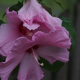 Carrie Goeringer - Soft Pink Hibiscus