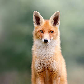 Roeselien Raimond - SoftFox - Red fox sitting