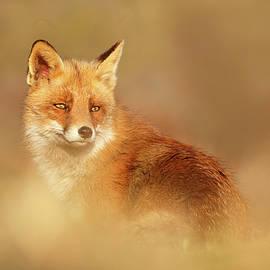 Roeselien Raimond - SoftFox series - Red Fox Blending In
