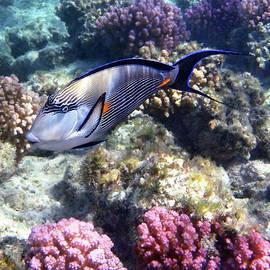Sohal Surgeonfish 5