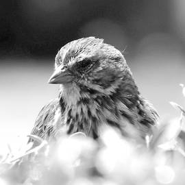 Song Sparrow - B and W by Arlane Crump