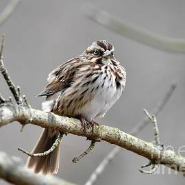 Charles Trinkle - Song Sparrow