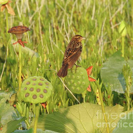 Ruth Housley - Song Sparrow On Lotus Pods