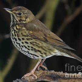 Song Thrush  Turdus Philomelos by Martyn Arnold