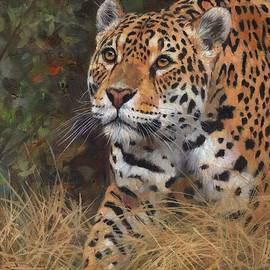 South American Jaguar Big Cat - David Stribbling