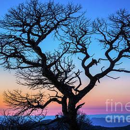 Inge Johnsson - South Rim Tree