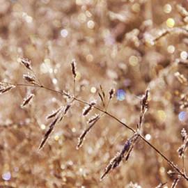 Sparkling Autumn Grasses by Leda Robertson