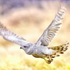 Sparrowhawk by Maciek Froncisz