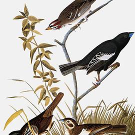 Sparrows by John James Audubon