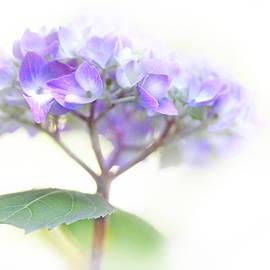 Speak Softly Hydrangea Flower by Jennie Marie Schell