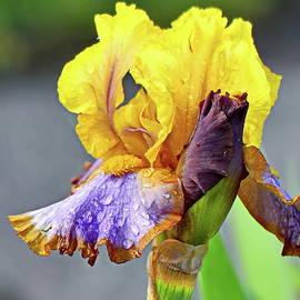 Spectacular  Bearded Iris by Lyuba Filatova