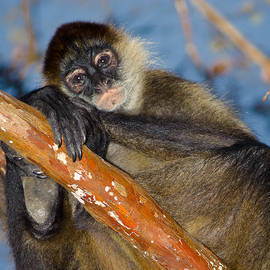 Spider Monkey Posing by Rikk Flohr