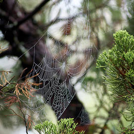 Spider Web In Tree by Willard Killough III