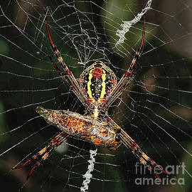 Spider with Dinner Prepared by Kaye Menner by Kaye Menner