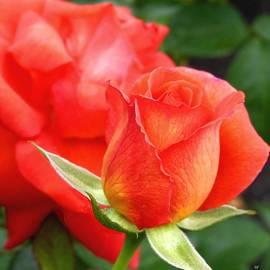 Will Borden - Splendid Tropicana Roses