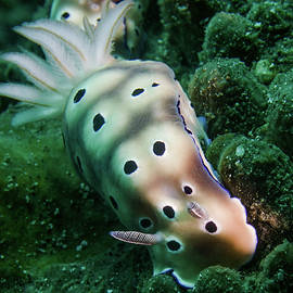Spotted Nudibranch