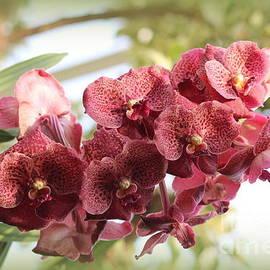 Spray of Coral Orchids by Dora Sofia Caputo