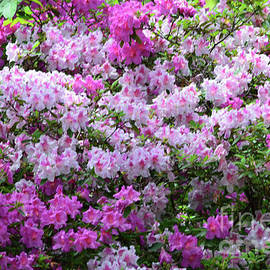 Spring Blooming Azaleas  by Ruth Housley