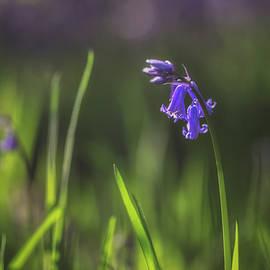 Chris Fletcher - Spring Bluebells No 1