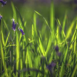 Chris Fletcher - Spring Bluebells No 2
