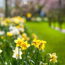 Jenny Rainbow - Spring Daffodils in Keukenhof Garden