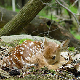 Spring Baby - White Tailed Fawn Resting by Ian Mcadie