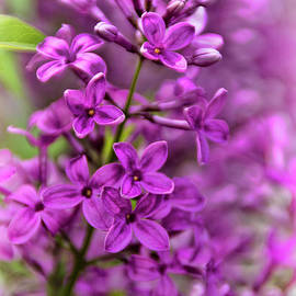 Spring Lilacs by Janice Pariza